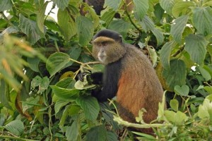 Mountain Gorilla & Golden Monkey Trekking Experience in Volcanoes National Park.